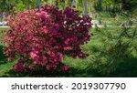 Bright Red Rhododendron Azalea...