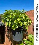 Green Basil Garden Herb Plant...