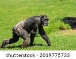 Chimpanzee Walking In A Field....