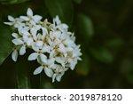 Close Up Of Siamese White Ixora ...