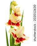 Beautiful fresh red and yellow gladiolus isolated on white background \ vertical - stock photo