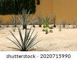 Contrast Vegetation Of Cactus...