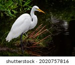 Close Up Of A Snowy White Egret ...