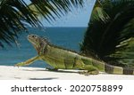 Green With Black Iguana Walking ...