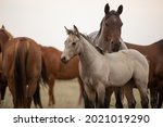 Horses Grazing In The Wilds Of...