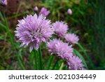 allium schoenoprasum  commonly...
