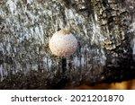Porcini Mushroom Tinder Fungus...