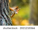 The Eurasian Red Squirrel ...