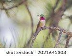 Male Broad Tailed Hummingbird...