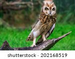 Stock photo long eared owl portrait 202168519