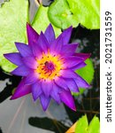 Small photo of Close up pink color fresh blossom lotus or water lily flower blossoming on pond