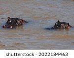 Hippopotamus Hippo Swimming...