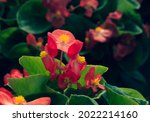 Vivid Pink Color Of Wax Begonia ...