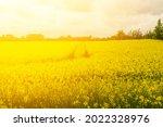 rapeseed field texture...   Shutterstock . vector #2022328976