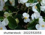 Begonia Cucullata Known As Wax...