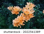 Gorgeous Light Orange Lilies...