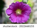 Isolated Bright Purple Flower...