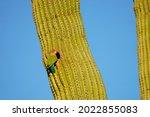 Lovebird In A Saguaro Cactus In ...
