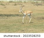Young Antelope Galloping In...