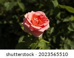A Pink Rose Flower On A...