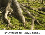 Roots Of A Tree Exposed On...