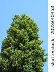 Lombardy Poplar Tree Against...