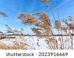 Brown Reed Plumes In Front Of A ...