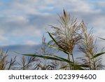 Reed  Phragmites  In Sunset...