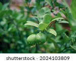 Rain Drenched Leaves Of Lime...