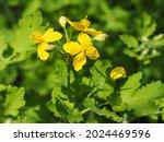 Greater Celandine  Yellow Wild...