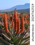 Close Up Photo Of An Aloe In...