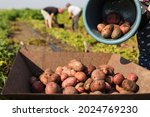Field Workers Digging Potato...