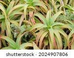 Candelabra Aloe On Table...