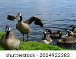 Small photo of Gaggle of juvenile Canada geese (Branta canadensis) and parents exiting Dow's Lake to menace the pedestrians and cyclists on the nearby cycle path.