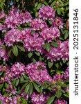 Flowering Bush Rhododendron ...