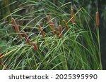 Cattail  Typha Latifolia ...