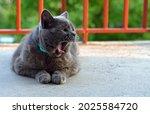 Blue British Shorthair Tomcat...