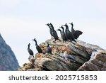 Black Shag Sitting On A Rock...