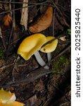 Gilled Mushroom. Basidiomycota. ...