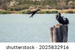 Black Cormorant Flying Over The ...