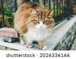 Fluffy Colored Cat Walks Along...