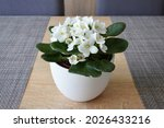 White African Violet In Flower...