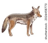 african coyote isolated on...   Shutterstock .eps vector #2026458773