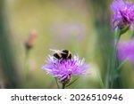 A Bumblebee Pollinates The...