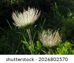 Pulsatilla alpina, the alpine pasqueflower or alpine anemone in the mountains.