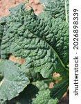Lush Green Kale Growing In The...