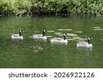 Four Canadian Geese Swimming...