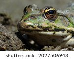 Water Frogs. Bright Green Frog...