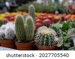 Cacti Cephalocereus ...