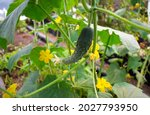 Cucumber Plant With Large Green ...